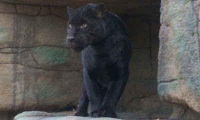 Jaguar Attacks Selfie-Taking Woman at Arizona Zoo