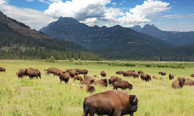 72-Year-Old Tourist Gored by Bison at Yellowstone National Park