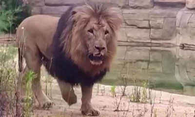 Lions Test Positive for COVID at Spanish Zoo